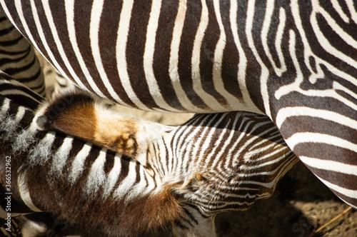 zebra close up - 366532962