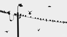 Pigeons Sit On Electric Wires