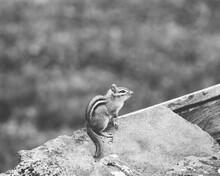 Chipmunk On A Rock.