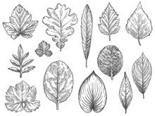 Sketch Autumn Leaves. Hand Drawn Fall Foliage, Forest Leaf Botanical Elements For Seasonal Advertisement, Invitation Or Textile Vector Set. Engraved Natural Tree Leaves Isolated Illustration