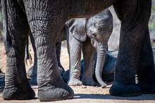 An Elephant Calf, Loxodonta Af...