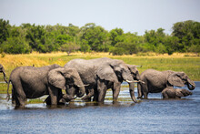 Herd Of Elephants Gathering At...
