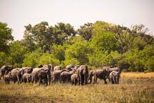 Herd Of Elephants Gathering At...