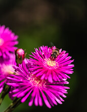 Bee On The Pink Flower. Close-...
