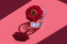 A Glass With Water And Deep Red Flower Dahlia On Pink Background. Minimal Flowers Concept In Hard Light With Shadows. Art Design. Front, Top View, Copy Space, Soft Focus.