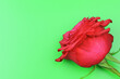 canvas print picture - A red rose isolated on green background. Red Flowers isolated. Copy space. Postcard. Place for text. Gardening