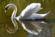 Stolzer Weißer Schwan Mit Spiegelung Im Wasser