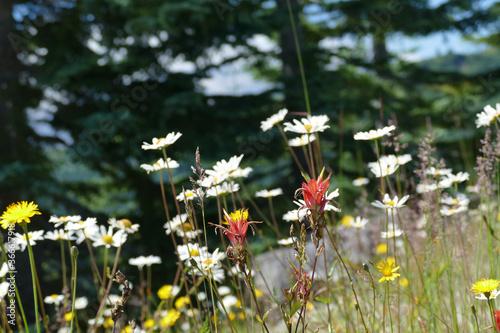 White wildflowers on the hillside of Windy Ridge Fototapeta