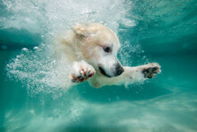 Golden Retriever Dog Swimming Underwater In Swimming Pool