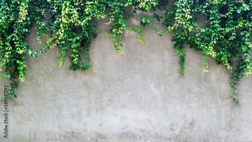 Green ivy leaves over cement wall, copy space. Slika na platnu