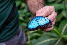 Morpho Butterfly In Costa Rica.