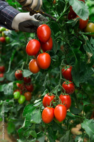 Fototapety, obrazy: Hand in glove cutting vine with red ripe tomatoes from branch