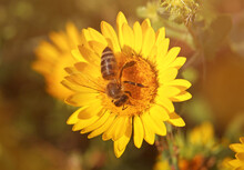 Bee On Yellow Flower Of Curly-top Gumweed