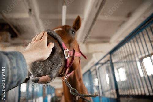 Fototapeta Horseman man stroking nose of brown horse, puts bridle face obraz