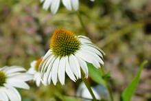White Coneflower Alba