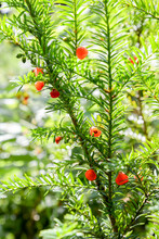 Red Yew Berries On Green Branch In Forest