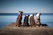 Dogs  Four Border Collies Posi...
