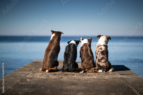 Tela Dogs  four border collies posing Croatia sea