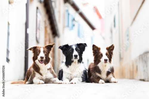 Papel de parede Dogs three border collies laying posing in city