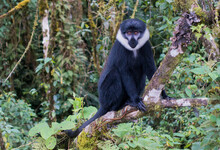 L'Hoest's Monkey / Primate In ...