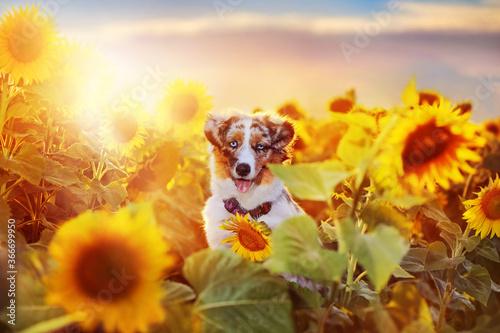 Pretty aussie puppy at the sunflowers field Canvas Print