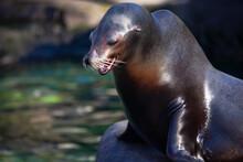 California Sea Lion Standing On The Rock  . Smiling Animal . Zalophus Californianus