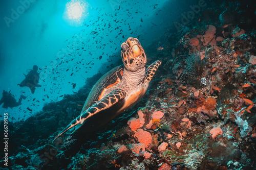 Cuadros en Lienzo Turtle swimming among coral reef in the wild, underwater scuba diving, reef scen