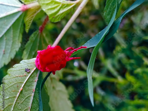 Photo A Beautiful red mite on a leaf