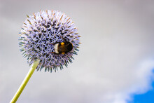 Flower Head Of Echinops Sphaer...
