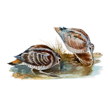 Woodcock Watercolor Painting Isolated. Watercolor Hand Painted Cute Animal Illustrations.