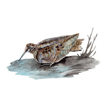 Woodcock Watercolor Painting I...