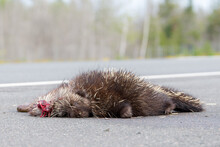 Dead Porcupine On A Road. There Is Blood By His Head. View Is From Road Level. A Fly Is On His Nose. Focus Is On His Face. There Is Room For Text Above.