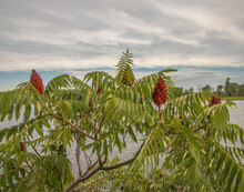 Sumac Bush Red Flowers Green Leaves On Bank Of River Nobody