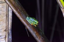Red-eyed Treefrog In Costa Rica. Agalychnis Callidryas