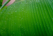 Water Drops On Green Banana Le...