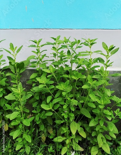 Photo Tulsi Plant in a yard of a house