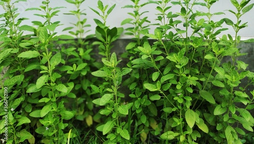 Tulsi Plant in a yard of a house Canvas Print