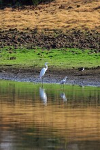 A Pair Of Great Egret Near A W...