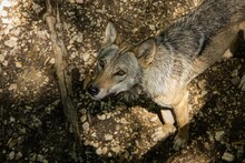 High Angle View Of A Coyote Lo...
