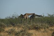 Wild African Giraffes In Etosha National Park, Namibia