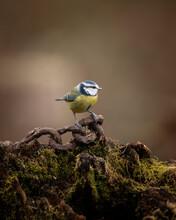 Image Of Blue Tit Bird Cyanistes Caeruleus On Rusty Chain In Spring Sunshine And Rain In Garden