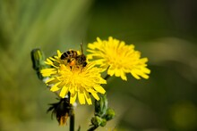 Yellow Sow Thistle Flowers, Being Pollinated By A Busy Bee Collecting Pollen For Honey.