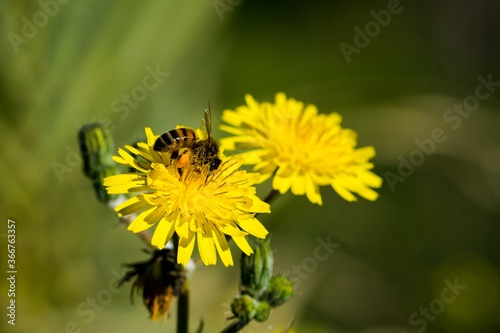 Fototapeta Yellow sow thistle flowers, being pollinated by a busy bee collecting pollen for honey