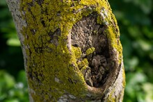 A Tree Trunk Covered With Yellow Green Moss And Lichens.