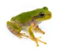 Japanese Tree Frog  On White B...