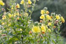 Oenothera Biennis, Common Even...