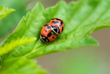 Ladybug Mating On The Leaf