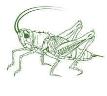 Outline Illustration Of A Cricket. Detailed Solid Color Image Of A Cricket, Grasshopper, Isolated On White Background.