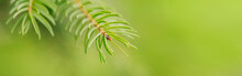 Beautiful Natural Spring Tree Background. Light Green Pine Tree Branches With Small Buds Of Brown Pine Cones. Seasonal Forest Nature Backdrop Wallpaper. Web Banner Header For A Website.