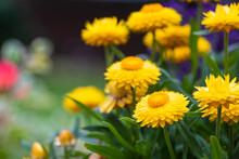 Gold Everlasting Flower In Summer Garden